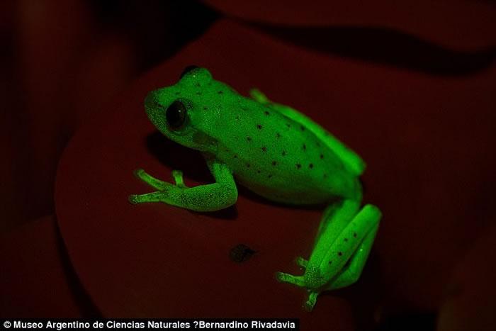 阿根廷科学家在亚马逊盆地发现全球第一种萤光两栖类动物:圆点纹树蛙