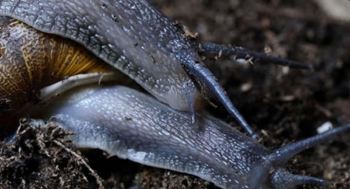 雌雄同体的蜗牛「办事」时间长达24小时,堪称「缓慢性爱」专家。