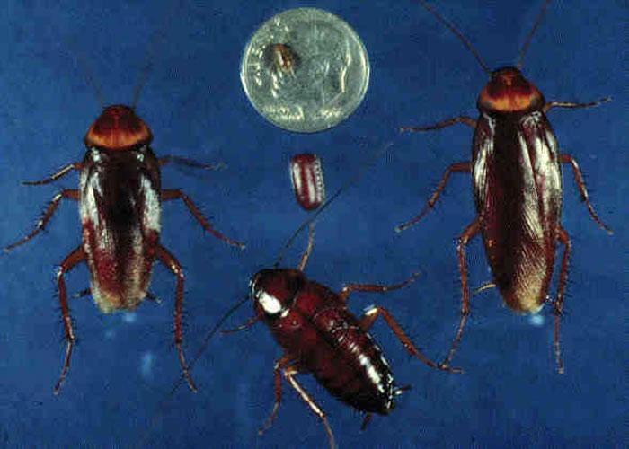 日本研究发现3只以上雌蟑螂就能够繁衍后代 不需要任何雄蟑螂