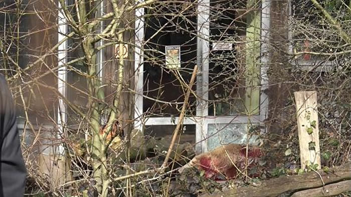 德国奥斯纳布吕克动物园灰北极熊逃跑被射杀