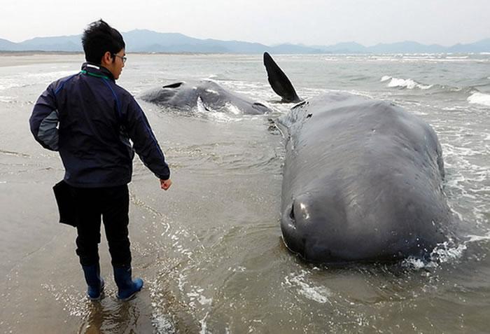 日本鹿儿岛6头抹香鲸搁浅死亡