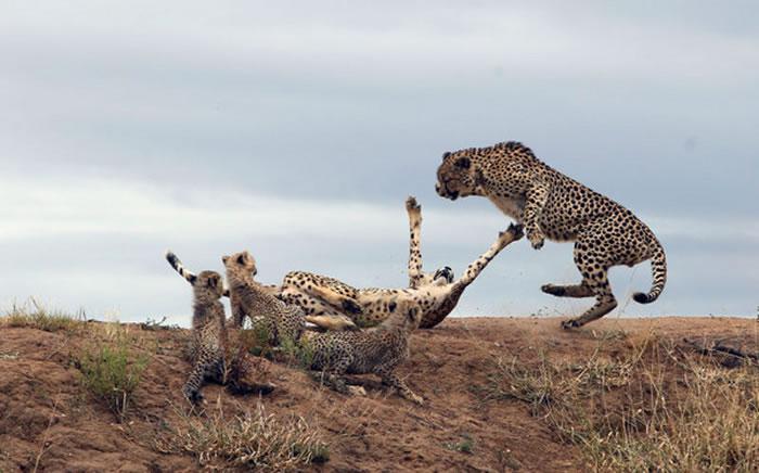 南非公豹偷袭 豹妈妈弹起来保护孩子