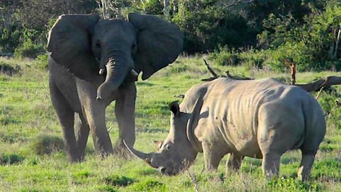 南非克鲁格国家公园爱玩的大象遇到紧张的犀牛