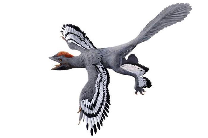 根据多项科学研究成果所发现的最新特征细节描绘出的近鸟龙样貌。 ILLUSTRATION BY JULIUS T. CSOTONYI