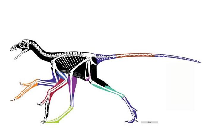 这幅近鸟龙骨架图的著色部位是经过雷射影像技术的重建。 ILLUSTRATION BY WANG XL, PITTMAN M ET AL. 2017