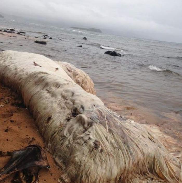 菲律宾海滩上的神秘毛怪 迪纳加特群岛发现不明海洋生物尸体
