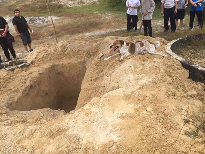 马来西亚忠犬狂追主人送葬车队