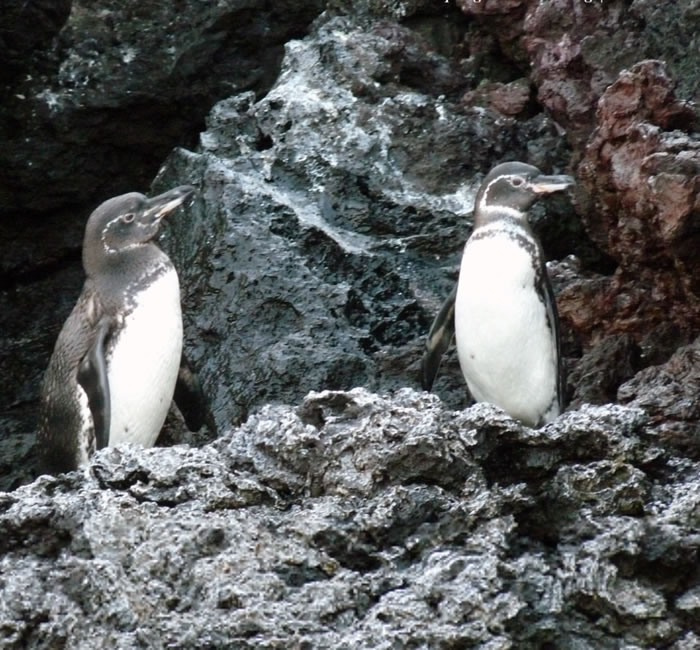 研究指这种行为的成因,或与岛上的严峻气候有关。(加拉帕戈斯国家公园图片)