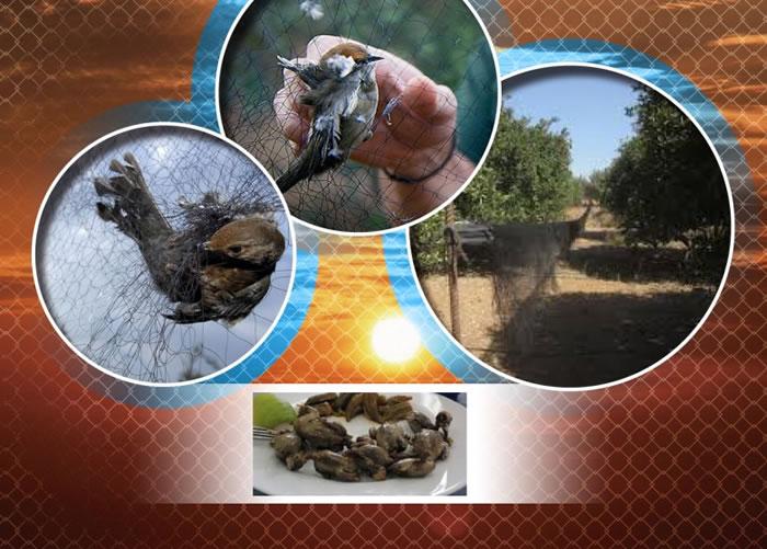 塞浦路斯一个英军基地单单在去年秋季已有数十万只鸣禽被人非法捕杀。