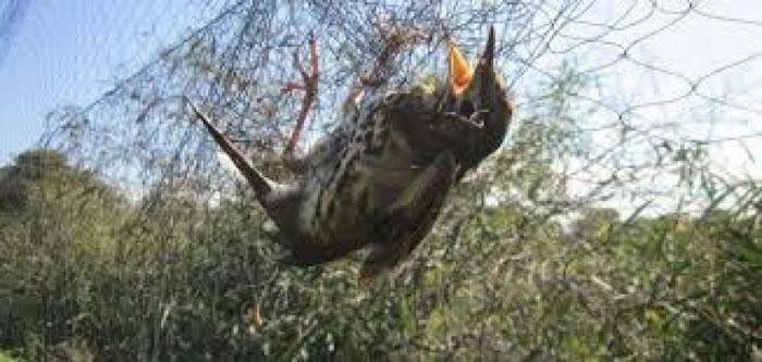 不法分子把死去的雀鸟送到当地餐厅,制成菜式出售。