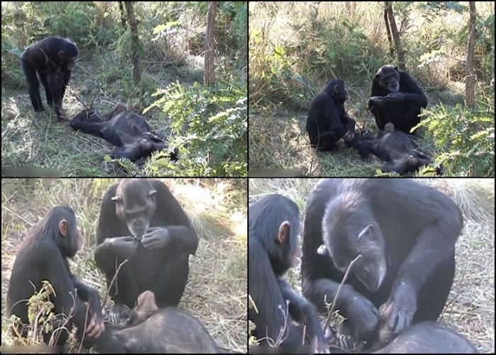 黑猩猩诺埃尔为已死去的养子托马斯清洁牙齿。