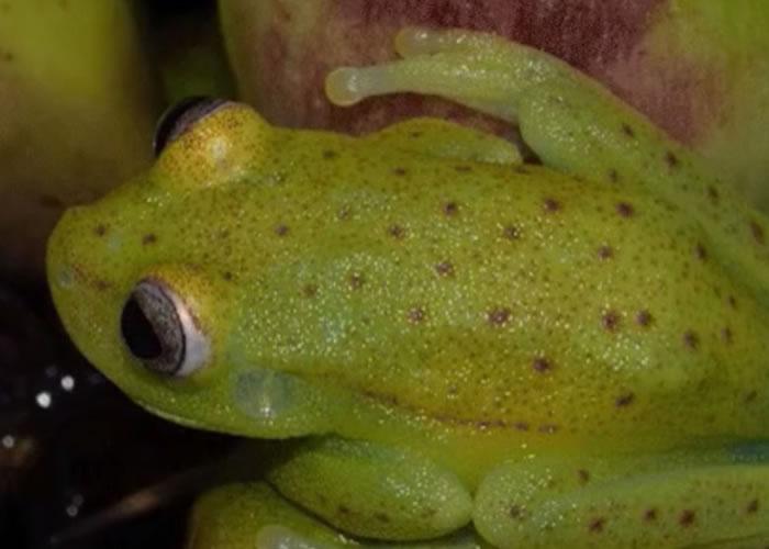 该种树蛙在正常情况下,身体绿绿黄黄,并布满红色斑点。