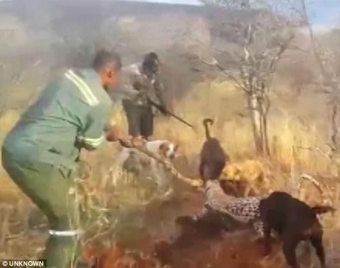 非洲纳米比亚猎人残杀美洲豹影片曝光 猎狗围攻噬咬