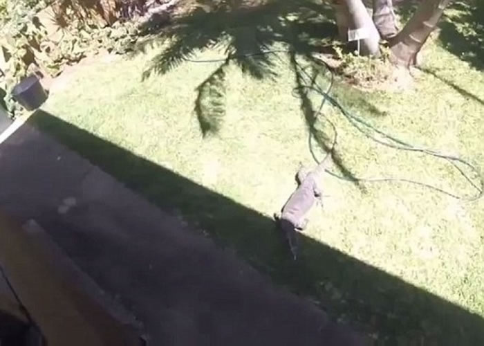 蜥蜴闯入后花园,并获家庭喂食。