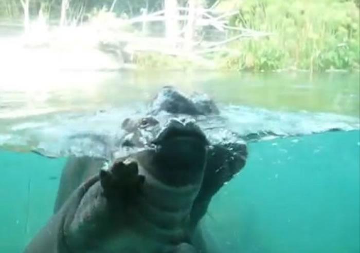 小河马终可在水面呼吸。