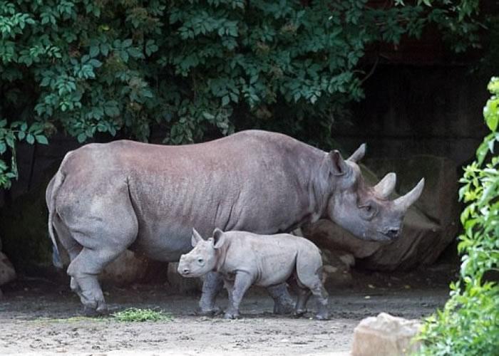 德武尔克拉洛韦动物园宣布会锯短园内犀牛的角。