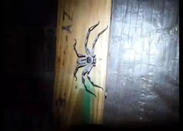 帕明特的镜头捕捉了一只巨型猎人蛛。