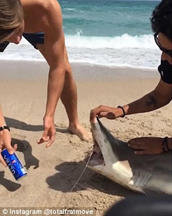 美国大学生捉来鲨鱼强行张开嘴 用鲨鱼利齿当作开罐器开啤酒