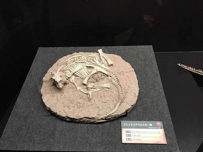 浙江自然博物馆展品鹦鹉嘴龙,金幸生提供