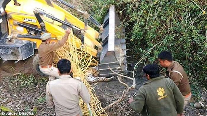 印度保护区老虎咬死人遭围捕 用挖土机运走时却不慎被压死