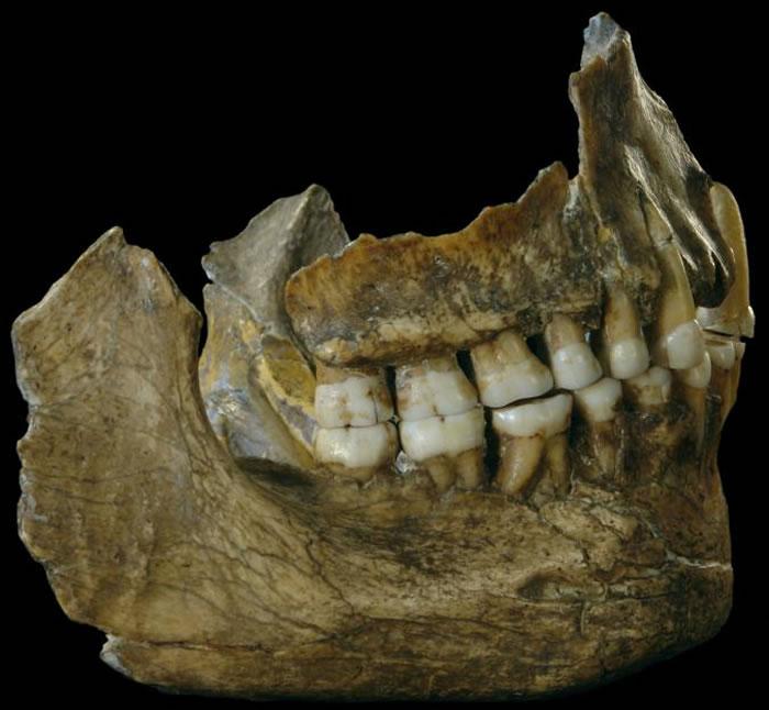 在比利时发现于的尼安德特人下颔骨,其中的基因线索有助我们了解古代饮食与牙垢的关联。 PHOTOGRAPH BY ROYAL BELGIAN INSTITUTE