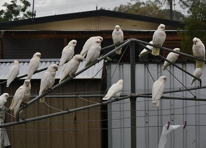 站在电线杆上的小凤头鹦鹉。