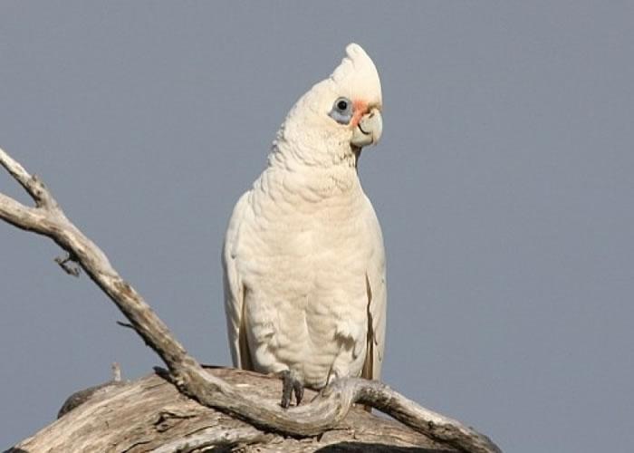 小凤头鹦鹉有短短的头冠和白色的喙,眼睛周围有蓝色的绒毛。