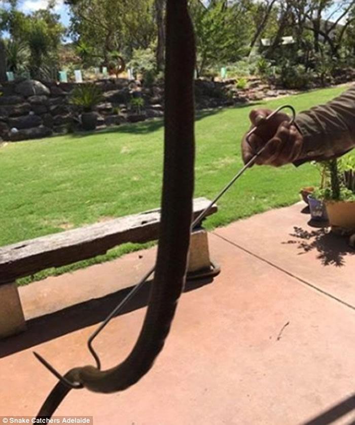 澳洲阿德莱德寒冷潮湿延孵化 东部啡眼镜蛇幼蛇破壳而出