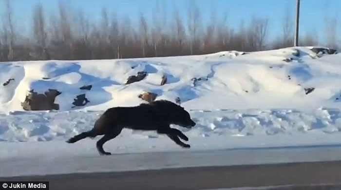 加拿大高速公路惊现两奔跑巨狼