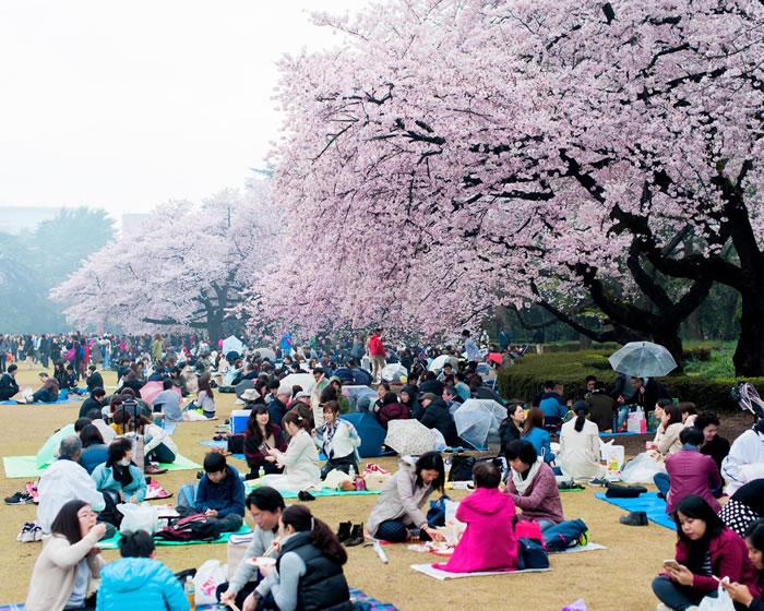 上千人聚集在东京的新宿御苑,在盛开的樱花树下野餐,庆祝日本一年一度的赏花季。 Photograph by Albert Bonsfills