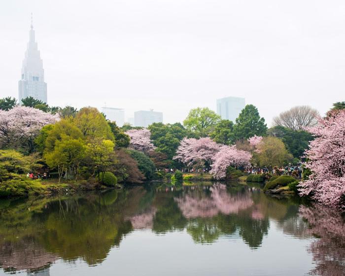 东京新宿御苑的丛丛粉红樱花树遮掩了后方的摩天大楼。 Photograph by Albert Bonsfills