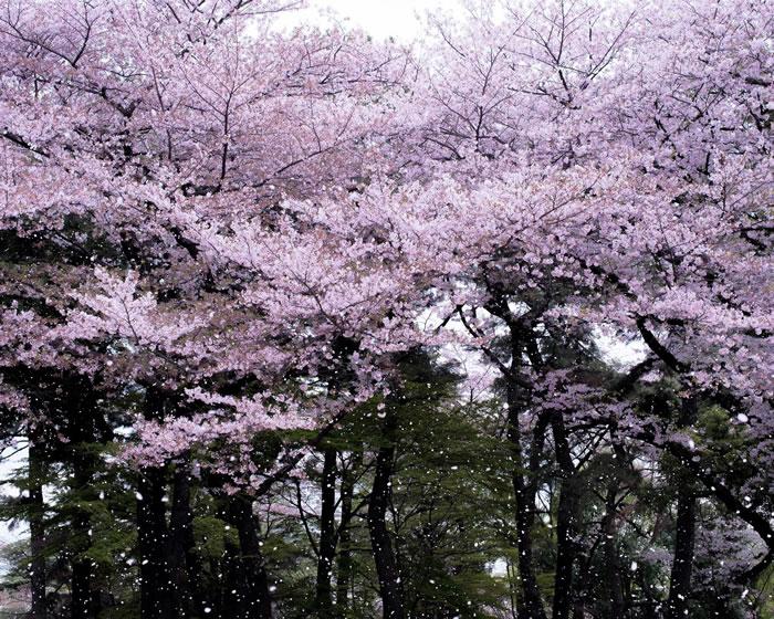 飘落的花瓣在空中飞舞,宣告樱花季的结束。 Photograph by Albert Bonsfills
