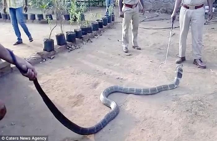印度南部村庄12英尺长眼镜王蛇旱灾找不到水喝 救援人员拿矿泉水喂