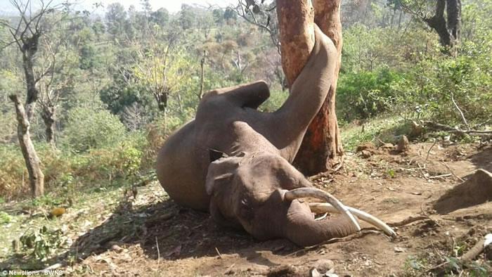 印度野生大象爬上树吃波萝蜜时不慎跌落卡在树干中间动弹不得 随后心脏病发死亡