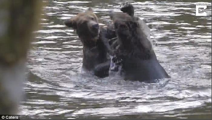 加拿大卑诗省小灰熊打斗 熊妈妈现身调停