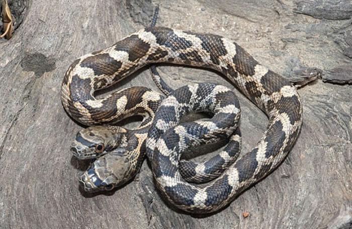 美国阿肯色州森林发现两个头的幼蛇 一个头经常咬另一个头