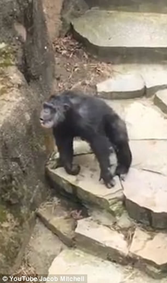 美国密西根州John Ball动物园黑猩猩捞起大便扔游客 老奶奶无辜中弹