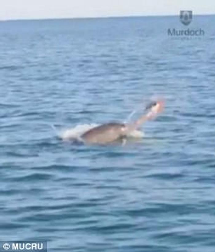 澳洲班伯里海岸宽吻海豚狂抛猎物 八爪鱼惨成美味午餐