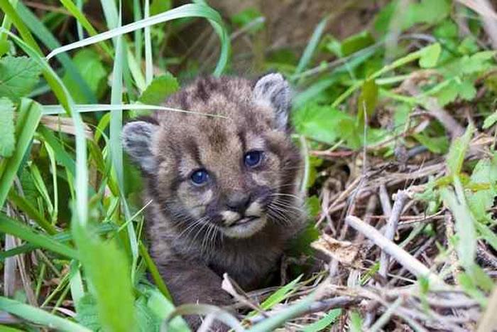 美国加州洛杉矶近郊的圣塔莫尼卡山国家保育区出现刚出生四周的小山狮