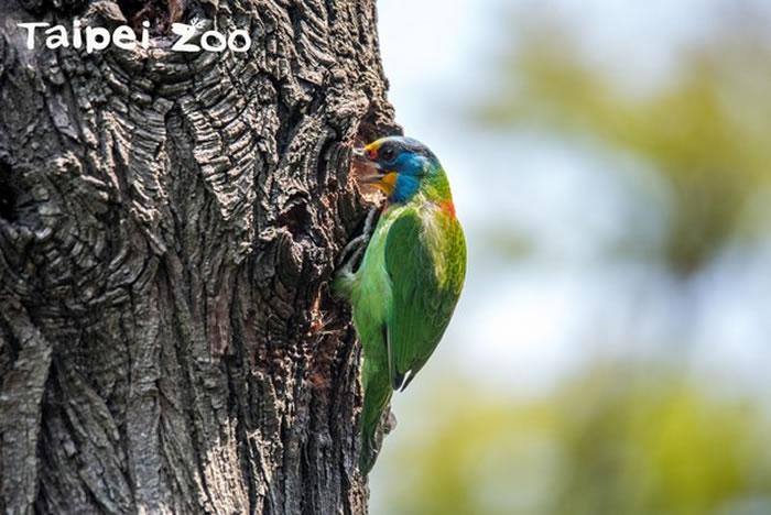 配对成功的五色鸟夫妻会一起「挖树洞筑巢」,准备传宗接代,是自然界的模范夫妻。(图/台北市立动物园提供,下同。)