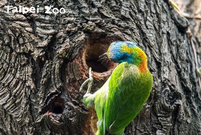 在繁殖期间会啄树洞为巢穴,因此又有「台湾拟啄木」的名号。