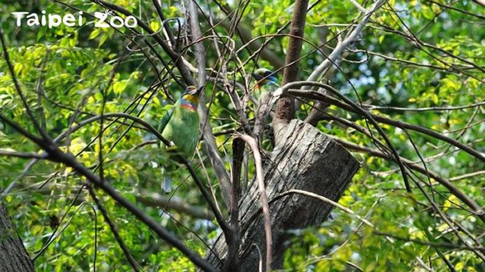 圆胖的五色鸟隐藏在枝头中。