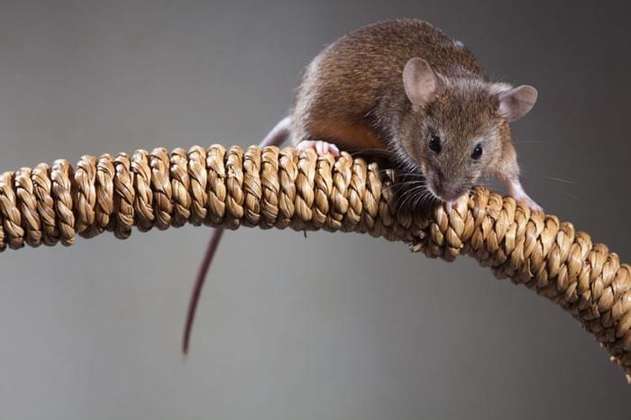 小鼠(Mus musculus domesticus)与人类纠缠的历史远比我们想得还要久。 PHOTOGRAPH BY JOE BLOSSOM, ALAMY