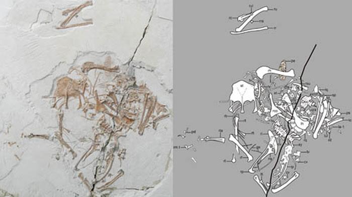 奇异食鱼反鸟正型化石(王敏供图)