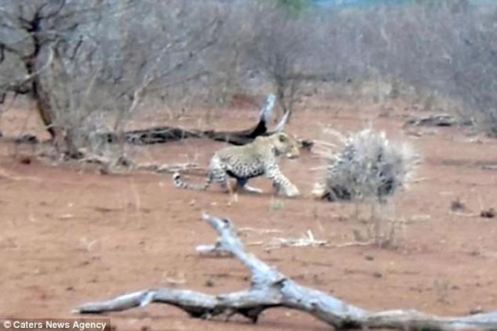 南非克鲁格国家公园花豹想要猎食2头豪猪 结果弄得一身刺