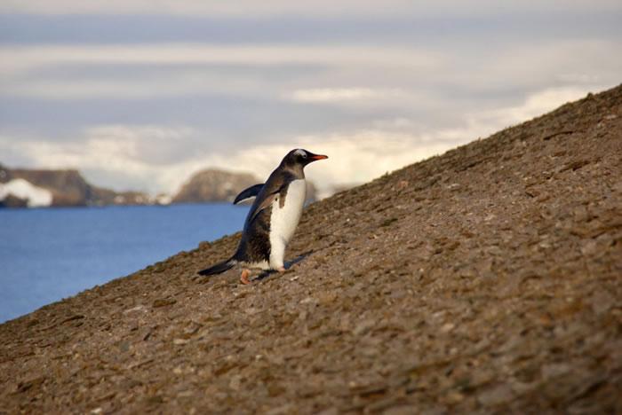 英国专家指火山爆发令古代企鹅灭绝。