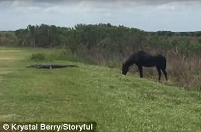 美国佛罗里达州一匹马主动攻击凶猛鳄鱼