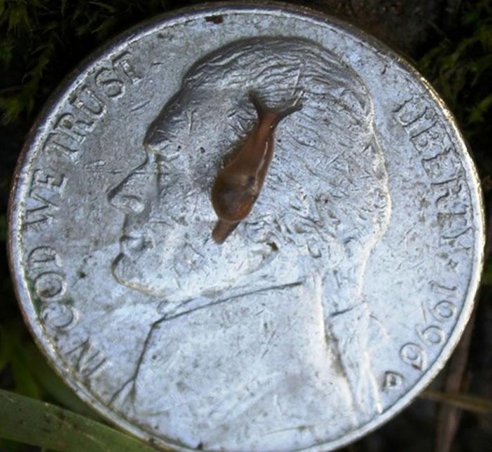 广东住血线虫(Angiostrongylus cantonensis)易寄生在老鼠、蜗牛身上。