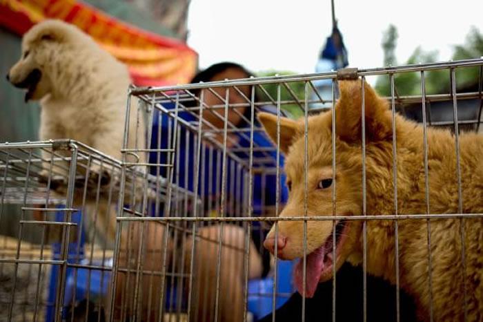 在中国广西玉林狗肉节待价而沽的犬只。台湾已明文禁止食用狗肉,但在中国大陆仍属合法消费。 / PHOTOGRAPH BY ANDY WONG, AP