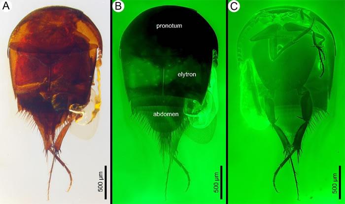 白垩纪缅甸琥珀中发现的最早的螱客